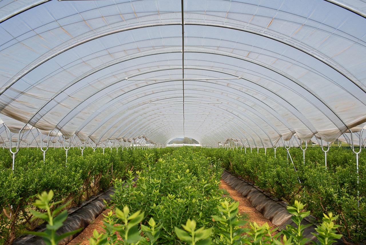 Bluberries Plantation